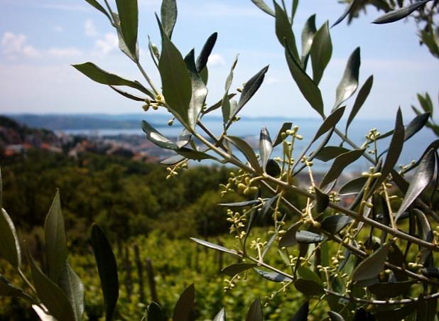 Inizio di fioritura degli ulivi in provincia di Trieste, 2019