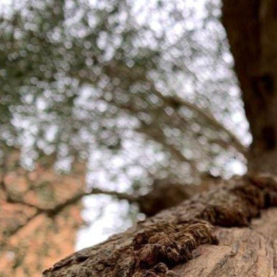 Orciolo d'Oro - immagine di un ulivo