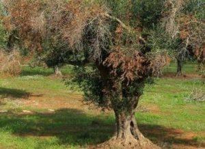 Ulivo colpito da Virticillosi / Oljčno drevo, ki ga je prizadela virticiloza